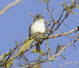 Blue-gray Gnatcatcher (