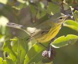 Prairie Warbler, Florida
