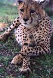 Cross-Legged Cheetah