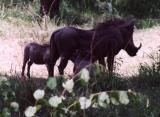 Warthog Silhouettes