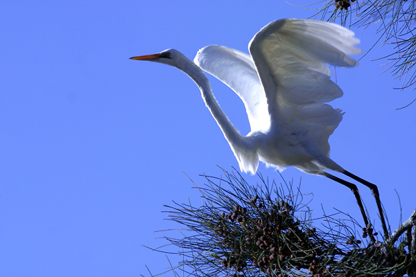 Take off - egret in flight!