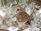 Salisbury, MA Short Eared Owl From Behind