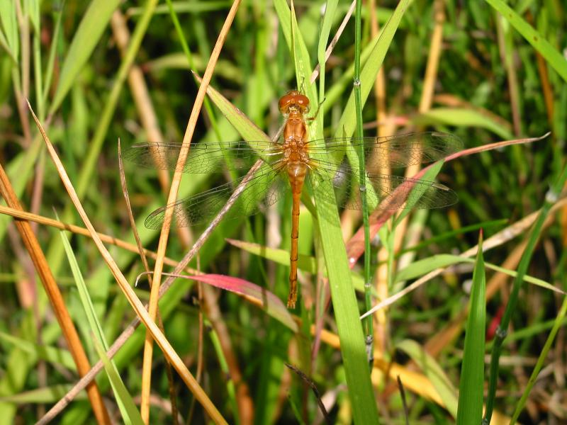 Yellow Dragonfly resting