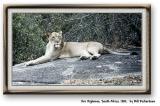lioness copy 2.tif.jpg