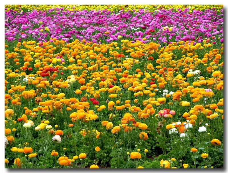 Flower Fields, Carsbad, CA