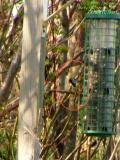 Documented Harris' Sparrow