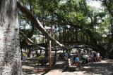 Banyon Tree-Lahaina