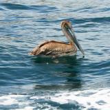Cabo-Pelican
