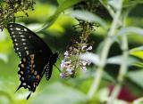 spicebush swallowtail 26