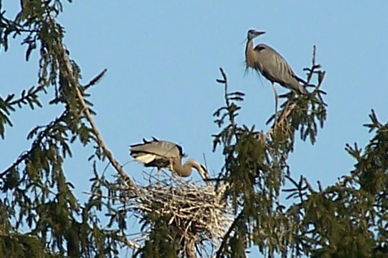 blue heron family