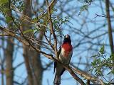 singing red breasted grosbeak