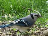 perfect bluejay