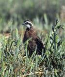 bobwhite quail 2