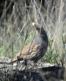 curious blue quail