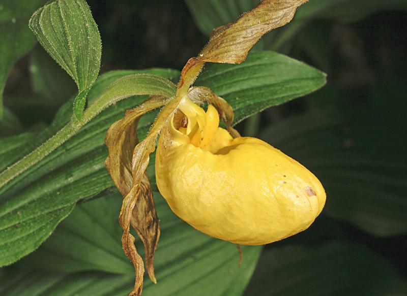 Greater Yellow Ladys Slipper - <i>Cypripedium pubescens</i>