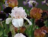 Iris Cherry Blossom Special