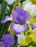 Iris Spring Kiss
