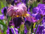 Iris 134