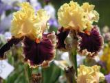 Iris 19