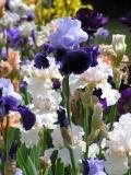 Iris 52