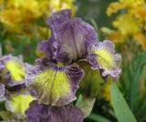 Iris 39