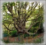 Vieil arbre.