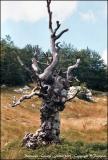 Vieil arbre mort.
