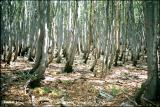 Forêt de hêtres en Velebit.