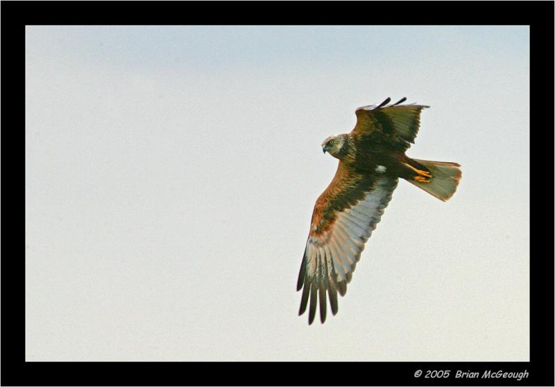 marsh harrier2.jpg