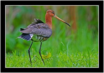 black tailed godwit.jpg