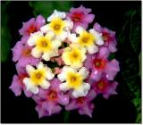 Flowers (2002/3)