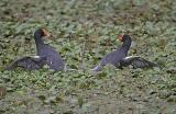 Moorhen Gladiators 2