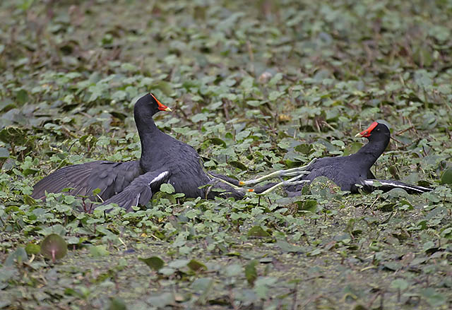 Moorhen Gladiators