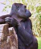 gorilla1426-sm.JPG