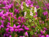 Flower with Bell Heather