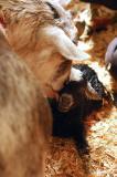 Newborn Goat - It's a Girl 5