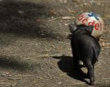 Little Baby Piglet Playing Ball