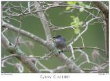 26May05 Gray Catbird