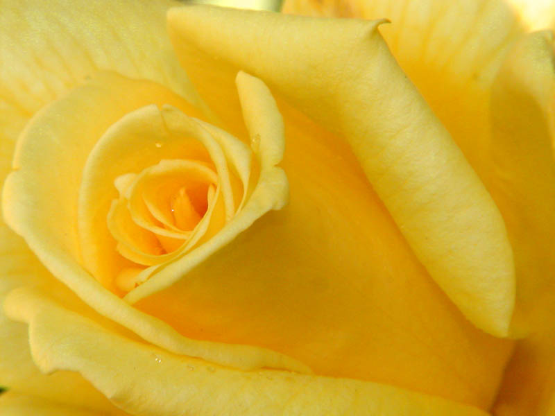 Yellow bliss