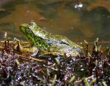 Mink frog - Rana septentrionalis