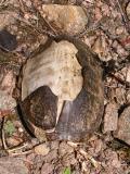 Sternotherus odoratus