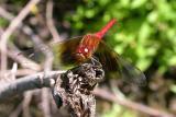 Band-winged Meadowhawk  --  Sympetrum semicinctum