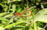 Mating dragonflies -- White-faced Meadowhawk (?)