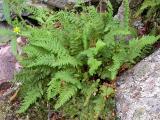 Unidentified fern