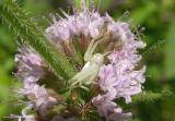 Misumena vatia spider in Wild Mint