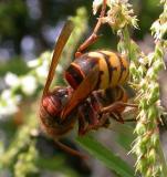 Vespa crabro (European Hornet) killing a honeybee