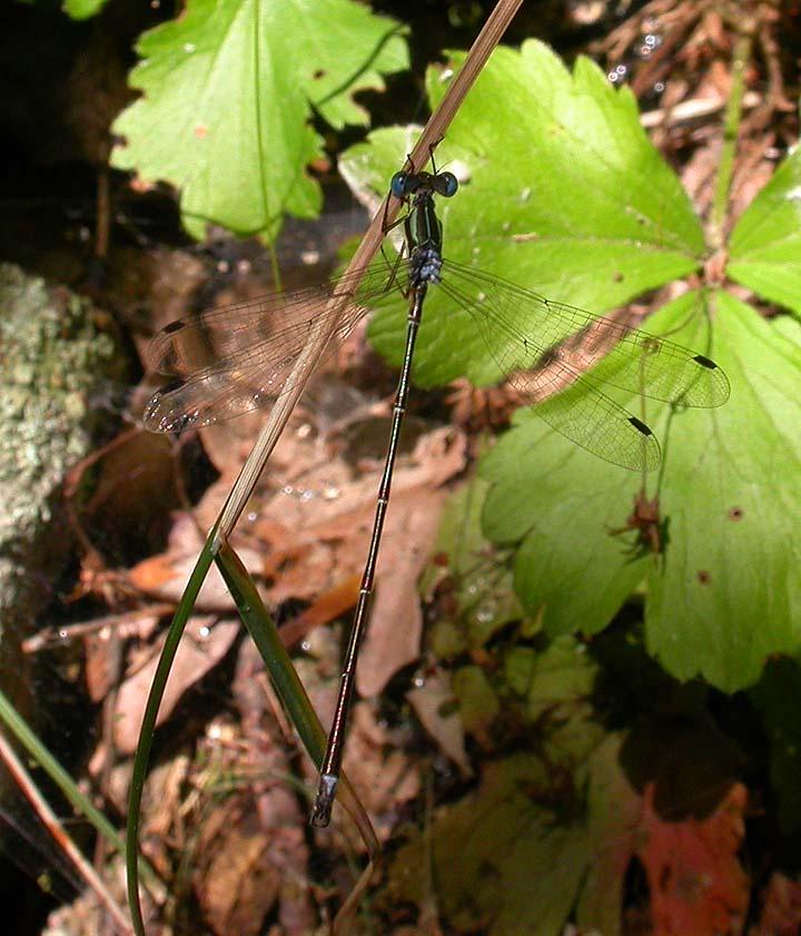 Slender Spreadwing damselfly -- <i>Lestes rectangularis</i>