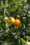 Orange tree at Terra Firma