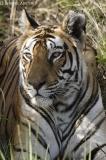Tigress by her kill.jpg