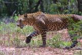 Yala leopard 2002.jpg